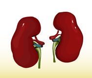 A renal Stock Photos