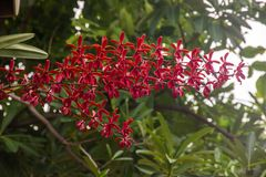 Renanopsis Lena Rowold som blommar i trädgårdträdgård Arkivbilder