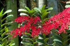 Renanthera Kalsom,一朵美丽的红色兰花 免版税库存图片