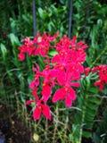 Renanthera Kalsom igualmente conhecido geralmente como as flores vermelhas de Dragon Orchid no jardim de Singapura fotografia de stock