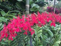 Renanthera Kalsom igualmente conhecido geralmente como as flores vermelhas de Dragon Orchid no jardim de Singapura foto de stock royalty free