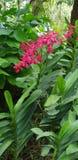 Renanthera Kalsom igualmente conhecido geralmente como as flores vermelhas de Dragon Orchid no jardim de Singapura fotos de stock