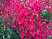 Renanthera Kalsom igualmente conhecido geralmente como as flores vermelhas de Dragon Orchid no jardim de Singapura foto de stock