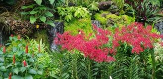 Renanthera Kalsom igualmente conhecido geralmente como as flores vermelhas de Dragon Orchid no jardim de Singapura imagens de stock royalty free