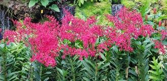 Renanthera Kalsom igualmente conhecido geralmente como as flores vermelhas de Dragon Orchid no jardim de Singapura imagens de stock