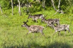 Renar i den naturliga miljön, Roros region Royaltyfri Foto