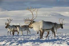 Renar i den naturliga miljön, Tromso region, nordliga Norge Royaltyfri Fotografi