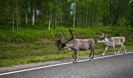 Renar i Finland Royaltyfri Fotografi