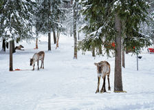 Renar i lantgård i vintern Lapland nordliga Finland Arkivbilder