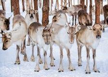 Renar i vinterlantgård i Lapland Finland Royaltyfri Fotografi