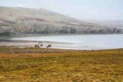 Renar på tundran, Spitsbergen Royaltyfria Bilder