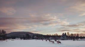 Renar som går på ett fält Arkivbild