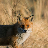renard Photographie stock