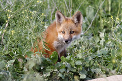 renard Photos stock
