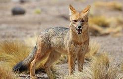 Renard andin dans le désert Bolivie de Siloli photo stock