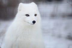 Renard arctique photos libres de droits