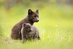 Renard arctique avec un petit animal en été photographie stock libre de droits
