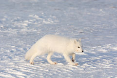 Renard arctique dans la neige photo libre de droits