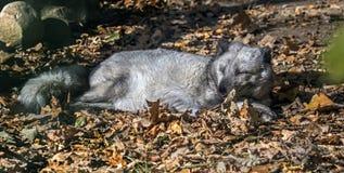 Renard arctique de sommeil Photographie stock
