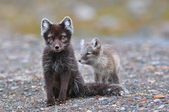 Renard arctique et petit animal photos stock