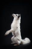 Renard arctique, lagopus de Vulpes Photographie stock