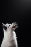 Renard arctique, lagopus de Vulpes Photo stock