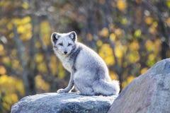Renard arctique masculin Photos libres de droits