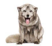 Renard arctique, séance de lagopus de Vulpes, haletant, d'isolement sur le blanc images libres de droits