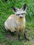 renard 'bat'-à oreilles Photos libres de droits