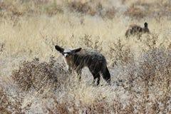 renard 'bat'-à oreilles Photos stock