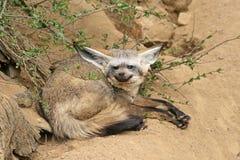 Renard batte-à oreilles menteur dans un zoo Images stock