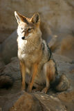 Renard de désert coloré par rouge avec de grandes oreilles Photographie stock