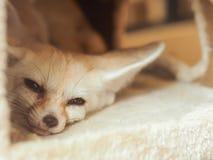 Renard de Fennec se réveillant dans la maison pelucheuse d'animal familier Photo libre de droits