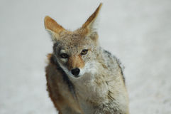 Renard de Greyback dans Etosha Photo stock