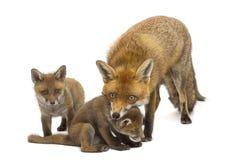 Renard de mère avec ses petits animaux (7 semaines de) Images libres de droits