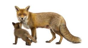 Renard de mère avec son petit animal (7 semaines de) Photographie stock libre de droits