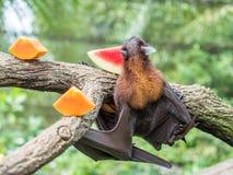 Renard de vol effrayant sur l'arbre mangeant des fruits image stock