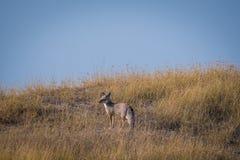Renard du Bengale ou jeu renard ou de bengalensis indien de Vulpes photo stock