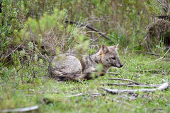 Renard gris sauvage sur l'herbe Images libres de droits