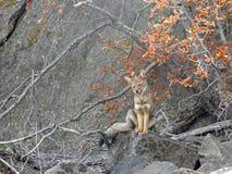 Renard gris sud-américain dans la montagne des Andes Image stock