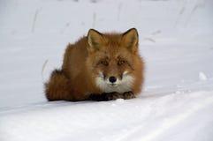 Renard rouge. Photo libre de droits