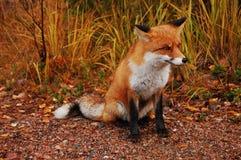 Renard rouge Photo libre de droits