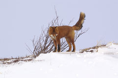 Renard rouge. Photographie stock