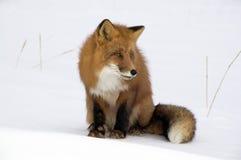 Renard rouge. Photo stock