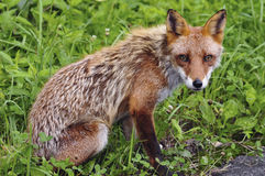 Renard rouge Photographie stock