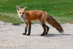 Renard rouge Photos stock