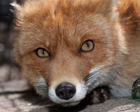 Renard rouge Photo libre de droits