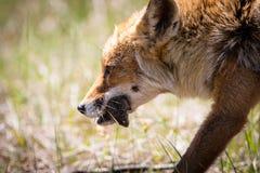 Renard rouge avec une souris dans elle fin de bouche du ` s  Photos stock