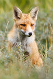 Renard rouge dans l'herbe Photo stock