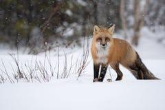 Renard rouge dans la neige Images libres de droits